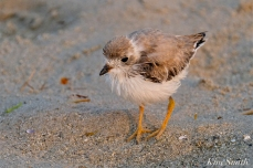 Semipalmated Plover Chick Fledgling Good Harbor Beach Massachusetts copyright Kim Smith - 07