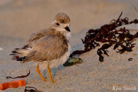 Semipalmated Plover Chick Fledgling Good Harbor Beach Massachusetts copyright Kim Smith - 10