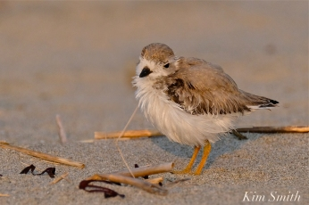 Semipalmated Plover Chick Fledgling Good Harbor Beach Massachusetts copyright Kim Smith - 14