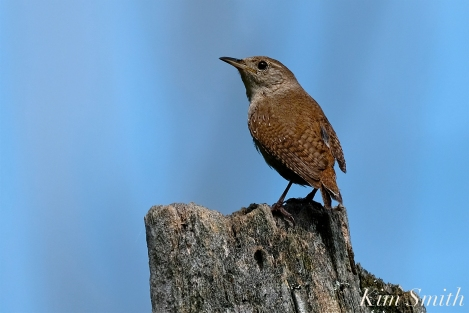 Winter Wren Gloucester Massachusetts -4 copyright Kim Smith