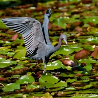 Little Blue Heron and Dragonfly Gloucester Massachusetts copyright Kim Smith - 06 jpg