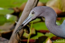 Little Blue Heron Eating Fish Gloucester Massachusetts copyright Kim Smith - 14