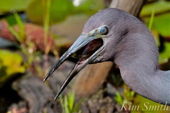 Little Blue Heron Eating Fish Gloucester Massachusetts copyright Kim Smith - 16