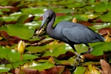 Little Blue Heron Eating Froglet Gloucester Massachusetts copyright Kim Smith - 10