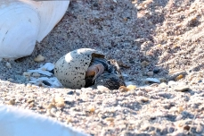 Piping Plover Chick Hatching copyright Kim Smith - 04