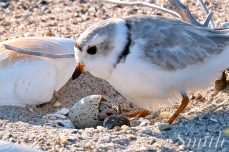 Piping Plover Chick Hatching copyright Kim Smith - 06