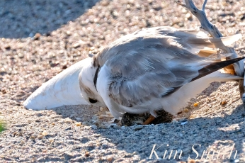 Piping Plover Chick Hatching copyright Kim Smith - 09