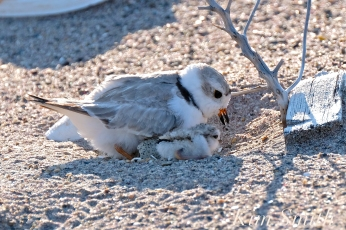 Piping Plover Chick Hatching copyright Kim Smith - 11