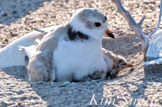 Piping Plover Chick Hatching copyright Kim Smith - 15