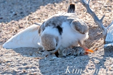 Piping Plover Chick Hatching copyright Kim Smith - 17