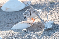 Piping Plover Chick Hatching copyright Kim Smith - 21
