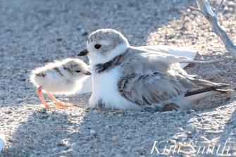 Piping Plover Chick Hatching copyright Kim Smith - 23
