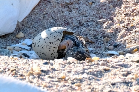 Piping Plover Hatching copyright Kim Smith copy