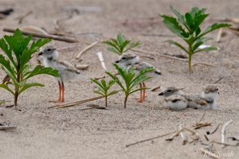Piping Plover Hatchlings hiding in a Sea-rocket jungle copyright Kim Smith