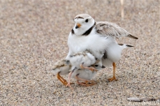 Piping Plover Mom and Hatchlings 5-30-19 copyright Kim Smith