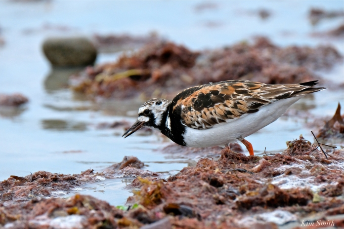 Ruddy Turnstone Cape Ann