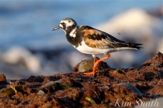 Ruddy Turnstone Cape Ann Massachusetts copyright Kim Smith - 01