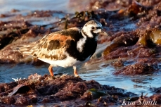 Ruddy Turnstone Cape Ann Massachusetts copyright Kim Smith - 10 jpg