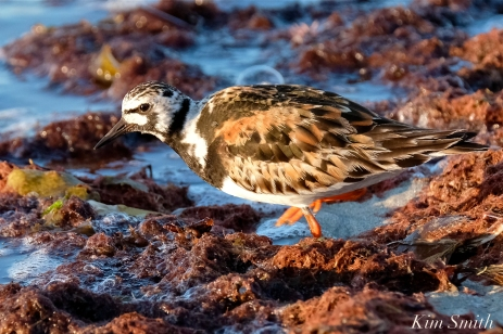 Ruddy Turnstone Cape Ann Massachusetts copyright Kim Smith - 11