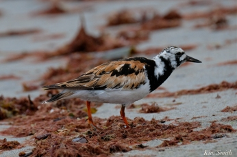 Ruddy Turnstone Cape Ann Massachusetts copyright Kim Smith - 14