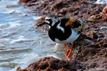 Ruddy Turnstone Cape Ann Massachusetts copyright Kim Smith - 17