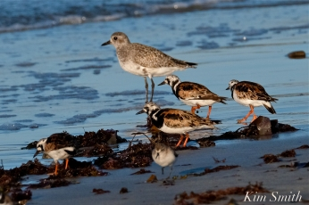 Ruddy Turnstones Black-bellied Plover Cape Ann Massachusetts copyright Kim Smith - 13