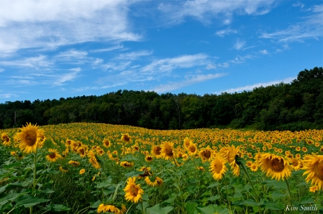School Street Sunflower Field Ipswich Massachusetts copyright Kim Smith - 03