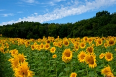 School Street Sunflower Field Ipswich Massachusetts copyright Kim Smith - 08