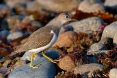 Spotted Sandpiper Cape Ann Massachusetts copyright Kim Smith - 3