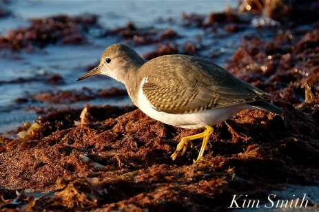 Spotted Sandpiper Cape Ann Massachusetts copyright Kim Smith - 4