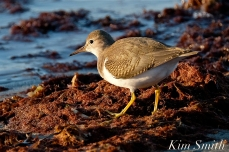 Spotted Sandpiper Cape Ann Massachusetts copyright Kim Smith - 5