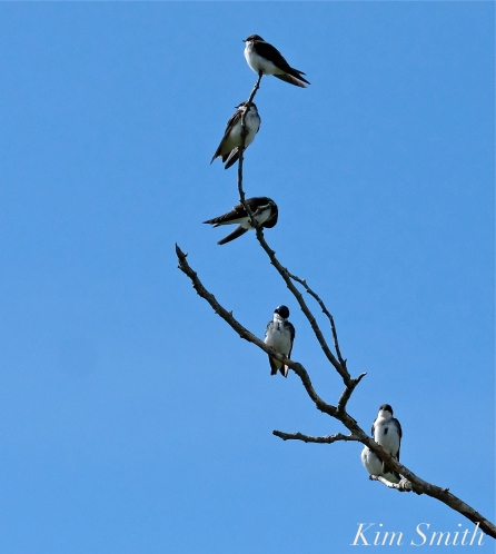 Tree Swallows Massing Good Harbor Beach Gloucester copyright Kim Smith - 03