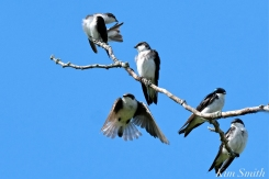 Tree Swallows Massing Good Harbor Beach Gloucester copyright Kim Smith - 05