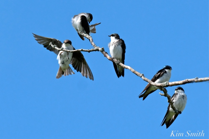 Tree Swallows Massing Good Harbor Beach Gloucester copyright Kim Smith - 06 jpg