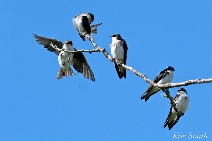 Tree Swallows Massing Good Harbor Beach Gloucester copyright Kim Smith - 06 jpg