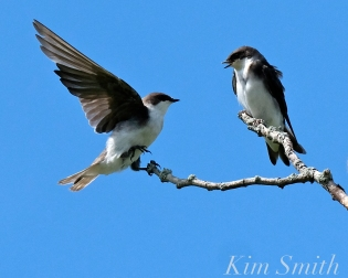 Tree Swallows Massing Good Harbor Beach Gloucester copyright Kim Smith - 07 copy