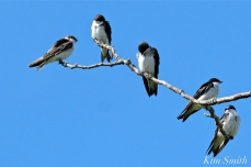 Tree Swallows Massing Good Harbor Beach Gloucester copyright Kim Smith - 08 copy