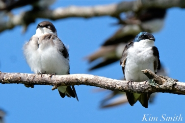 Tree Swallows Massing Good Harbor Beach Gloucester copyright Kim Smith - 09 copy