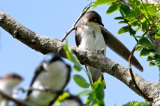 Tree Swallows Massing Good Harbor Beach Gloucester copyright Kim Smith - 11 copy