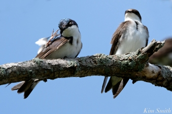 Tree Swallows Massing Good Harbor Beach Gloucester copyright Kim Smith - 13 copy