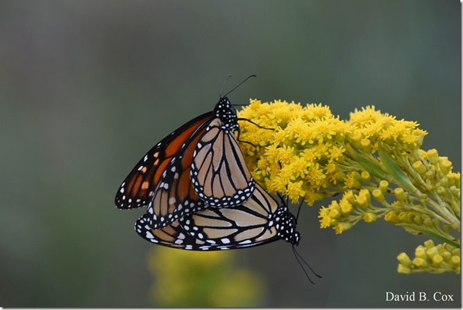 2019 9 18 Monarchs & Blvd Flowers&Scooners 022