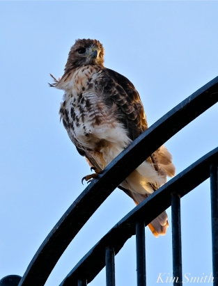 Keeper of the Light Red-tailed Hawk Eastern Point Lighthouse copyright Kim Smith
