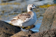 Long-tailed Duck Female Immature copyright Kim Smith - 08
