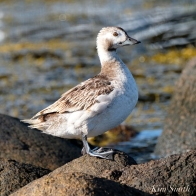 Long-tailed Duck Female Immature copyright Kim Smith - 10 copy