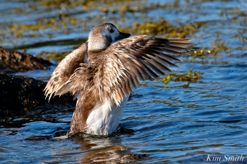 Long-tailed Duck Female Immature copyright Kim Smith - 11
