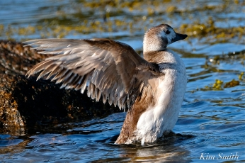 Long-tailed Duck Female Immature copyright Kim Smith - 12 copy