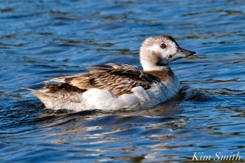 Long-tailed Duck Female Immature copyright Kim Smith - 13
