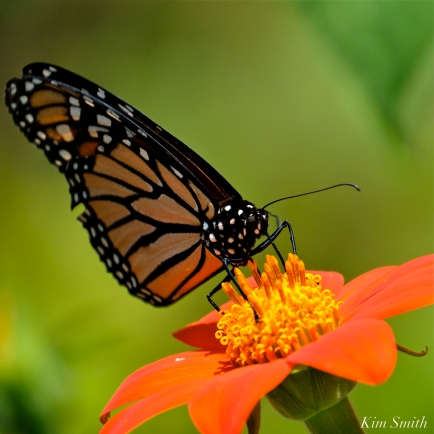 Mexican Sunflower Monarch Butterfly Tithonia rotundifolia copyright Kim Smith