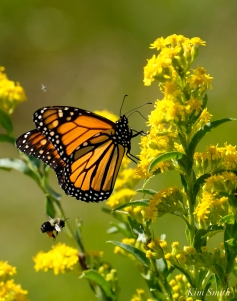 Monarch Butterflies Bee Seaside Goldenrod copyright Kim Smith - 03
