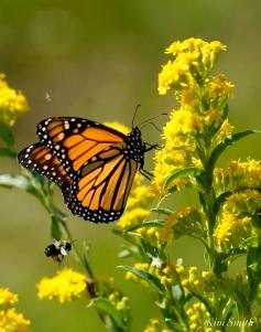 Monarch Butterflies Bee Seaside Goldenrod copyright Kim Smith - 03
